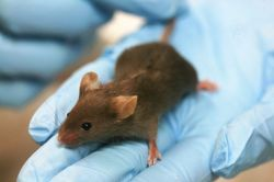 Experimental protocols for DMD animal models